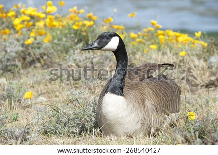 Male Canada goose, scientific name Branta canadensis, resting, but on guard near his female and goslings to protect them. - stock photo