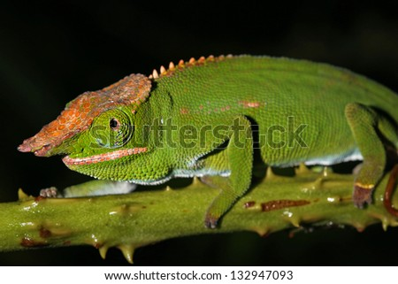 Male Canopy or Will's Chameleon (Furcifer willsii) on a branch in the wilds of Madagascar (Rain Forest of Ranomafana). Incredible vibrant colors at night after awakening. Foliage, tree. - stock photo