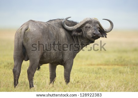 Male Cape Buffalo (Syncerus caffer) Tanzania. In the Ngorongoro Crater - stock photo