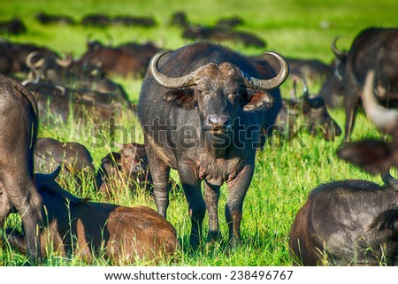 Male cape buffalos standing in short grass - stock photo