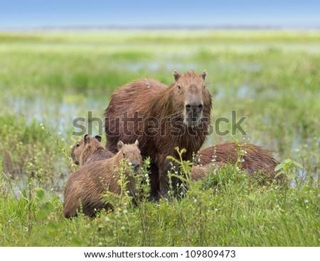 Male capybara with their kids in the El Cedral - Los Llanos, Venezuela, South America - stock photo