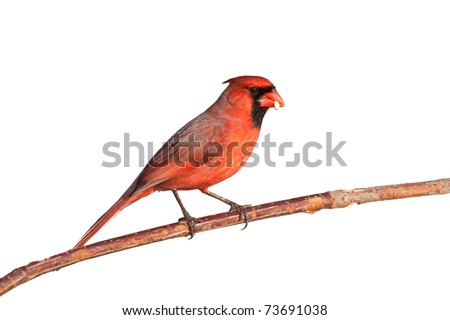 male cardinal balances a safflower seed in its beak, sitting on a branch, white background - stock photo