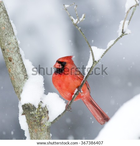 Male Cardinal perched on branch in the Snow - stock photo