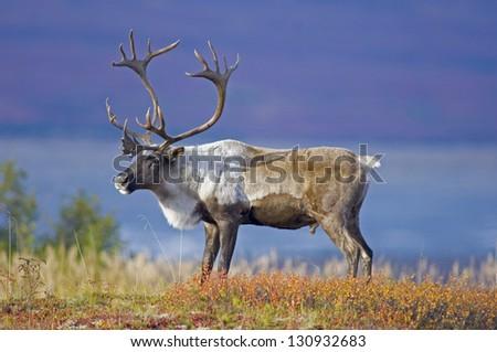 Male Caribou Grazing on Toklat River Basin - stock photo