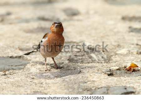 male chaffinch ( Flingilla coelebs ) on park alley - stock photo