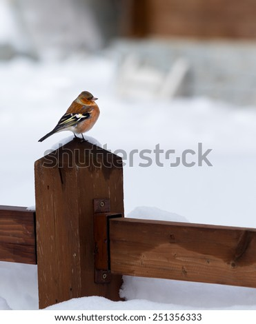 male chaffinch in a winter and cold background - stock photo