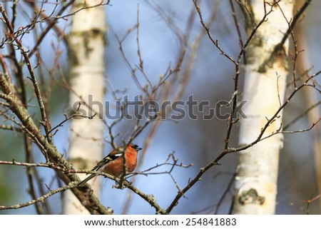 Male Chaffinch on a tree branch - stock photo