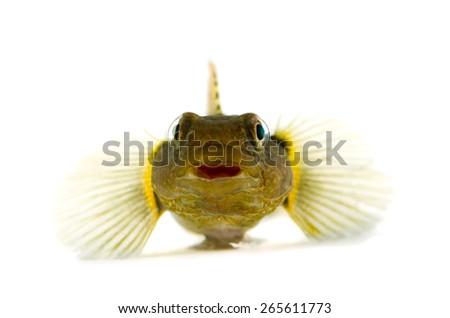 Male Chameleon Goby-Tridentiger trigonocephalus, on white background.  - stock photo