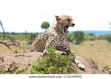 Male Cheetah yawns in the sun, Masai Mara, Kenya. - stock photo