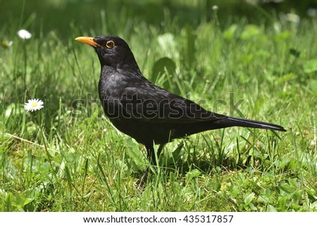 Male Common Blackbird on a meadow - stock photo