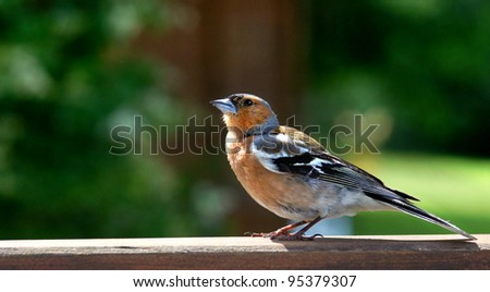 Male Common Chaffinch (Fringilla coelebs) - stock photo