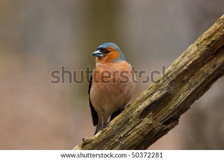 Male Common Chaffinch (Fringilla coelebs) perching stump. - stock photo