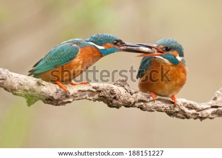 Male Common kingfisher giving a fish to female / Alcedo atthis / blurred background, horizontal orientation - stock photo
