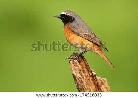 Male Common Redstart (Phoenicurus phoenicurus)  - stock photo