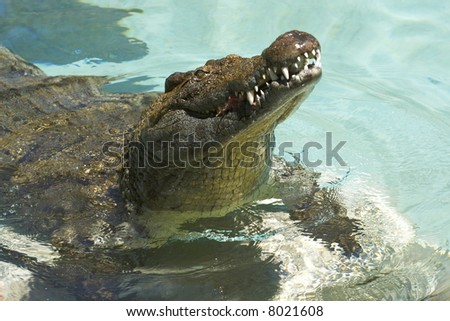 male crocodile chewing on some meat - stock photo