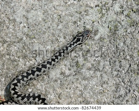 Male crossed viper or common European adder, Vipera berus, on a granite rock - stock photo