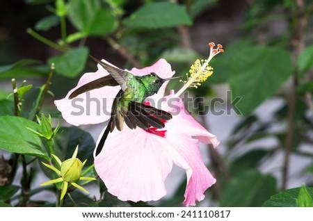 Male Cuban emerald hummingbird(Chlorostilbon ricordii) hovering on pink hibiscus flower  - stock photo