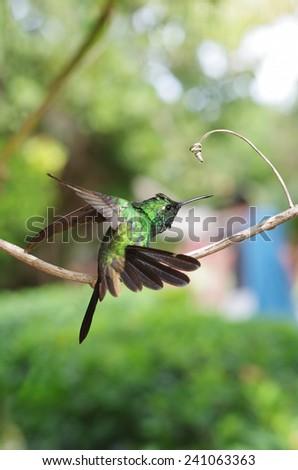 Male Cuban emerald hummingbird (Chlorostilbon ricordii) landing on a branch - stock photo