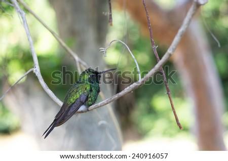 Male Cuban emerald hummingbird (Chlorostilbon ricordii) perching on a branch - stock photo