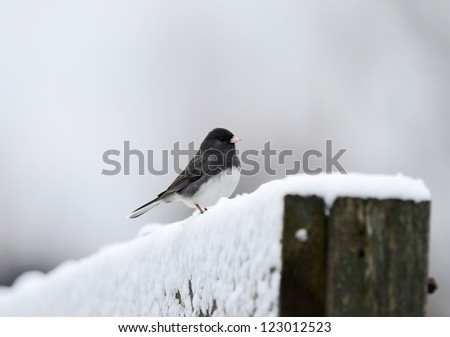 Male Dark-eyed Junco (Junco hyemalis) perched on snow covered fence on cold winter day. - stock photo