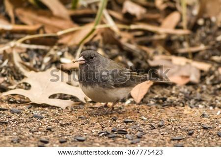 Male Dark-eyed Junco (Junco hyemalis) with black oil sunflower seeds in its beak. Junco prefers feeding on the ground. - stock photo