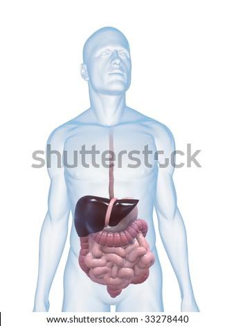 male digestive system - stock photo