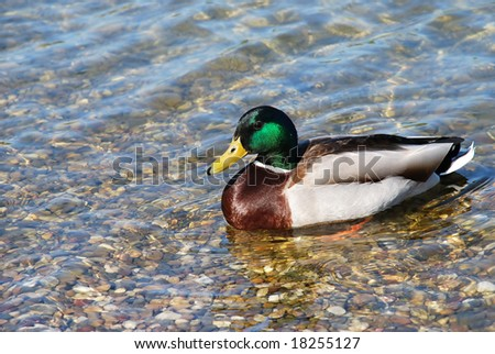 male duck over transparent water - stock photo
