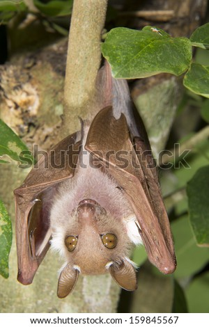 Male dwarf epauletted fruit bat (Micropteropus pussilus) hanging in a tree. - stock photo