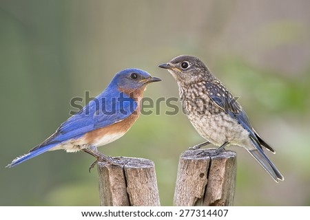Male Eastern bluebird and Juvenile - stock photo