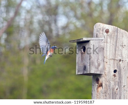 Male Eastern Bluebird in flight, brings food to his growing family - stock photo