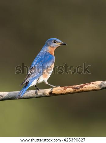 Male Eastern Bluebird on Green Background - stock photo