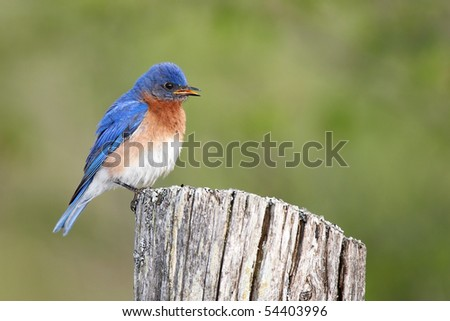 Male Eastern Bluebird perched on a fence post against a blurred background. - stock photo