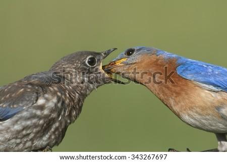 Male Eastern Bluebird (Sialia sialis) feeding his hungry baby - stock photo