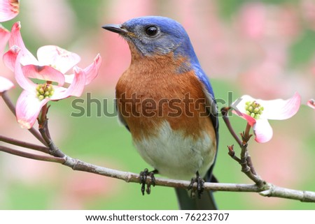 Male Eastern Bluebird (Sialia sialis) in a Dogwood tree with flowers - stock photo