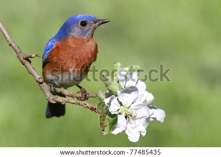 Male Eastern Bluebird (Sialia sialis) in an apple tree with flowers - stock photo