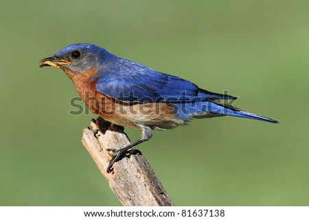 Male Eastern Bluebird (Sialia sialis) on a branch with a worm - stock photo