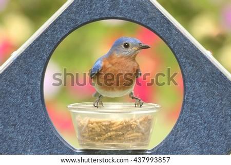 Male Eastern Bluebird (Sialia sialis) on a feeder - stock photo