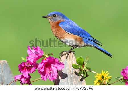 Male Eastern Bluebird (Sialia sialis) on a fence with Dandylion flowers and pink azalea flowers - stock photo