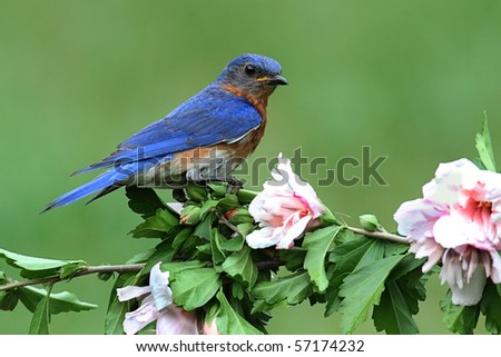 Male Eastern Bluebird (Sialia sialis) on a hibiscus bush - stock photo