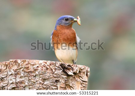 Male Eastern Bluebird (Sialia sialis) on a log with carrying a worm - stock photo
