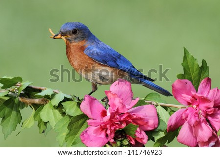 Male Eastern Bluebird (Sialia sialis) on a perch with flowers - stock photo