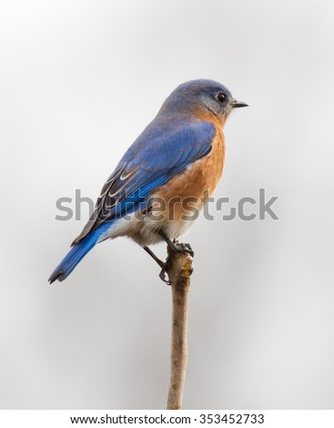 Male Eastern Bluebird (Sialia sialis) perched on a branch - stock photo