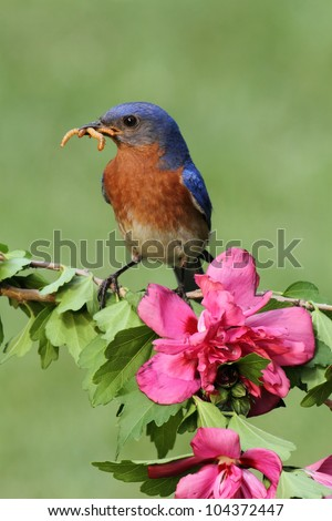 Male Eastern Bluebird (Sialia sialis) with flowers carrying worms - stock photo