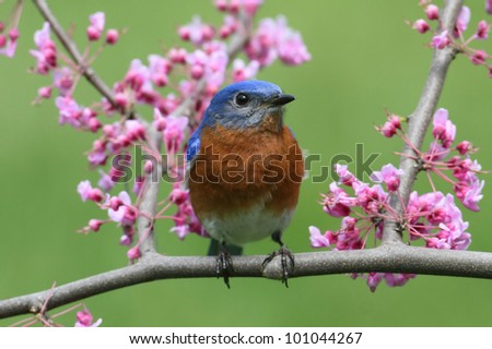 Male Eastern Bluebird (Sialia sialis) with pink flowers - stock photo