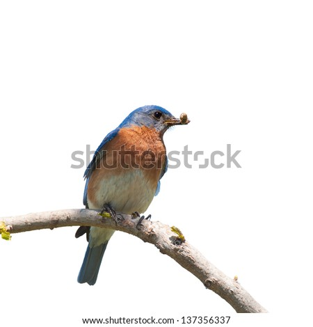 Male Eastern Bluebird with an insect in his beak for the brood; isolated on white - stock photo