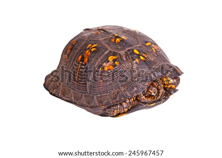 Male eastern box turtle (Terrapene carolina carolina) hiding in its carapace shell isolated against a white background - stock photo