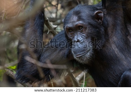 Male Eastern chimpanzee looking intently - stock photo