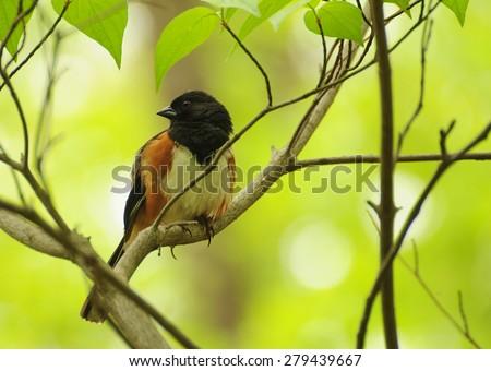 Male Eastern towhee bird, also called rufous-sided towhee, pipilo erythrophthalmus - stock photo