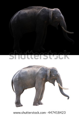 male elephant standing at night time with spotlight and male elephant isolated - stock photo