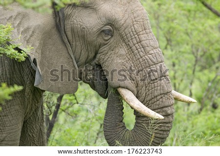 Male elephant with Ivory tusks eating brush in Umfolozi Game Reserve, South Africa, established in 1897 - stock photo